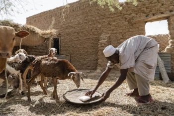 Pastoralist in the Sahel feeds his flock.