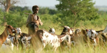 A Fulani man herds cattle in Cameroon