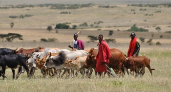 Nigerian Fulani herders grazing their cattle